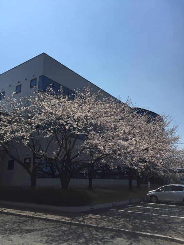 20190404桜満開